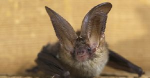 northern-long-eared-bat