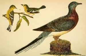 Passenger pigeons once numbered in the billions but now exist only in museums.