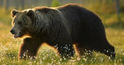 yellowstone-grizzly-bear