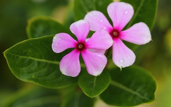 The rosy periwinkle, a plant native to Madagascar, has yielded powerful substances effective in treating childhood leukemia and other diseases.