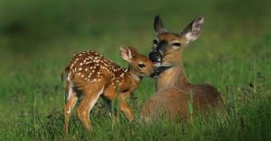 deer-doe-and-fawn