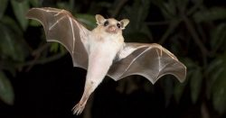 dwarf-epauletted-fruit-bat