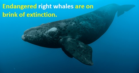 Endangered right whales, on brink of extinction